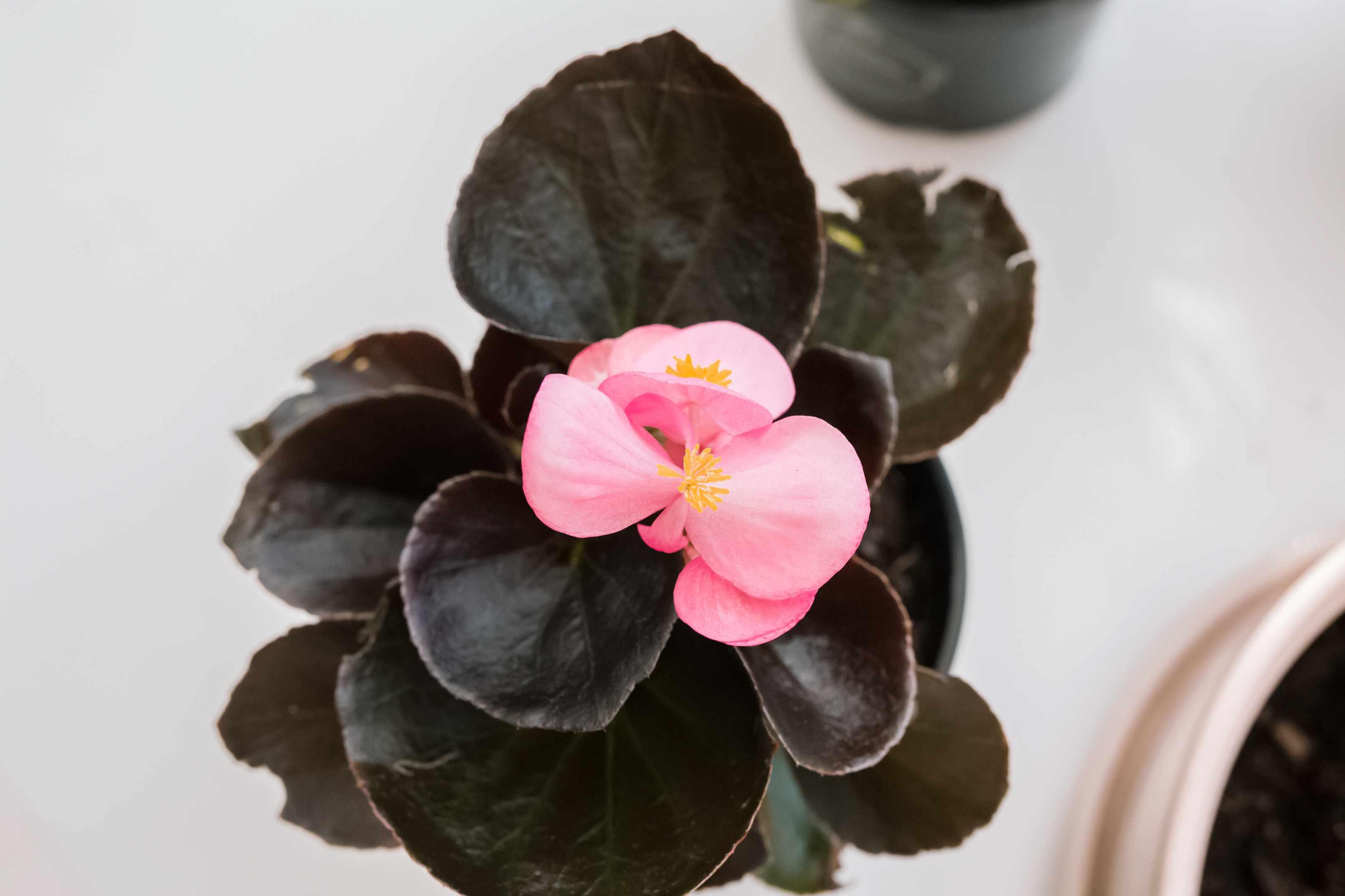 closeup of a begonia flower