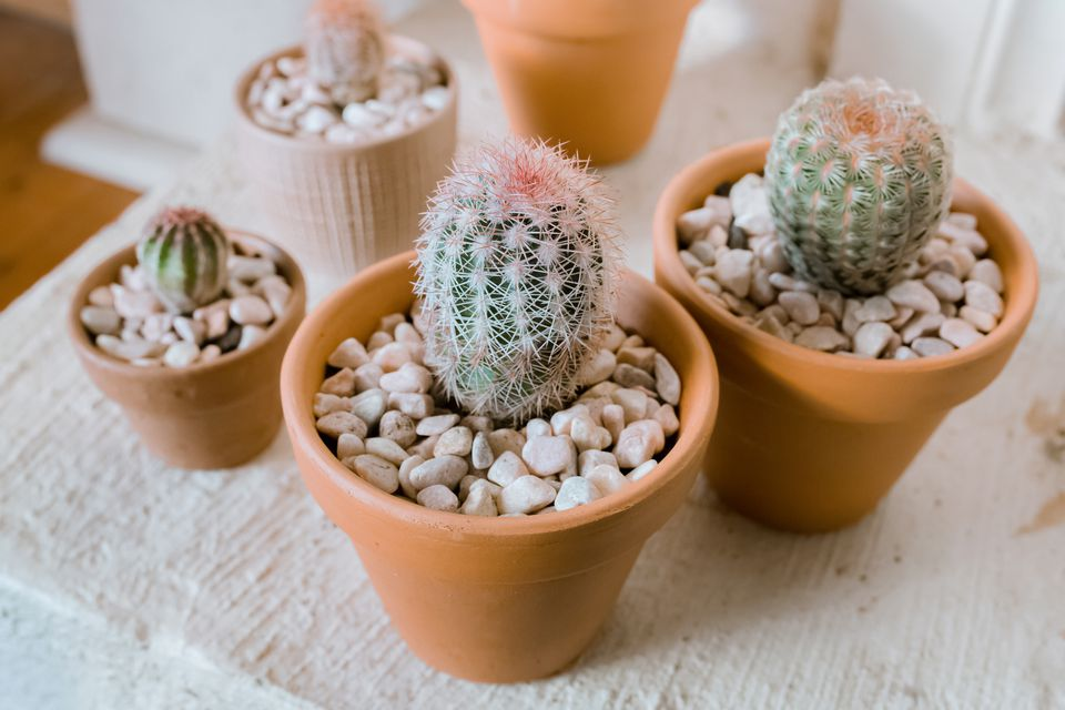 Echinosereus cacti