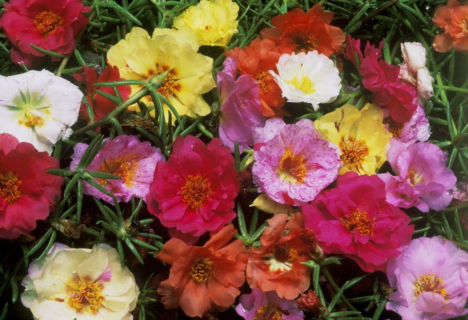 Moss Rose (Protulaca grandiflora)