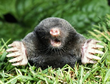 How to keep voles out of your yard what is the difference between a mole and a vole solutioingenieria Images