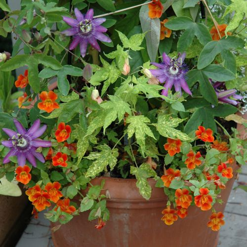 Gift Plants And Plant Ideas Perfect Container Garden For You: Flowering Vine Ideas For Your Container Garden