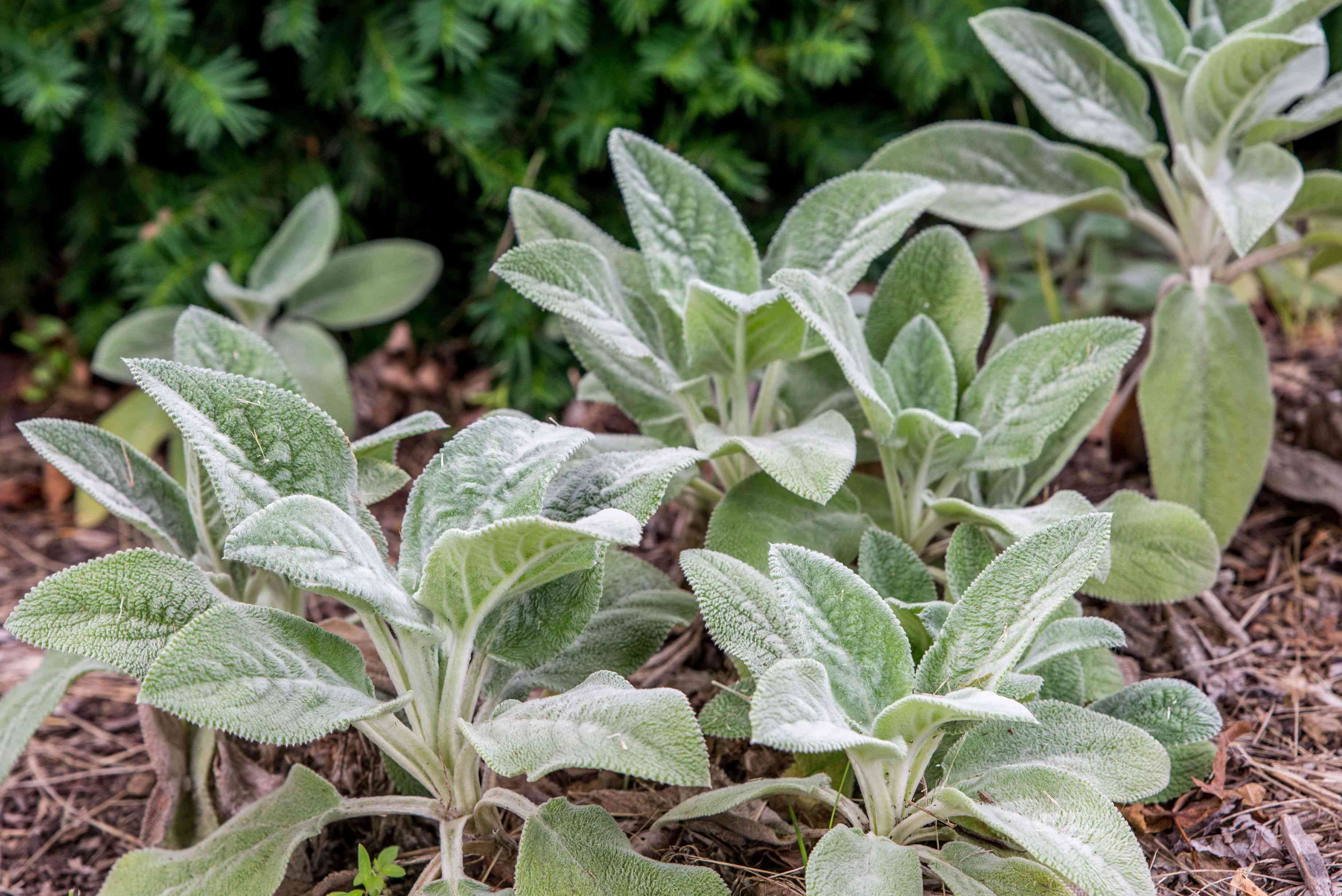Lamb's ear plant with thick, silvery-green and fuzzy leaves surrounded by mulch closeup