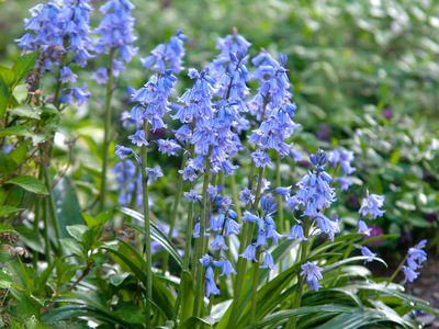 Spanish bluebell plant with blue flowers in garden