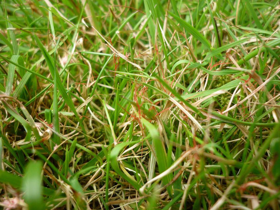 Red thread grass