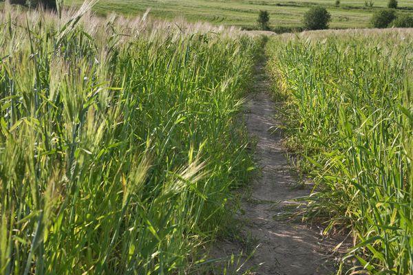 Winter rye grass in field.