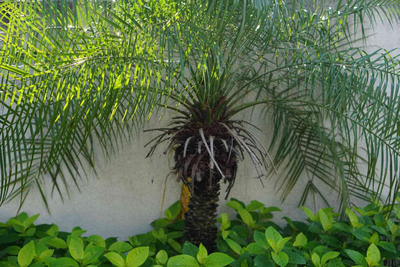 Queen palm with feathery fronds arching from a single trunk against white wall
