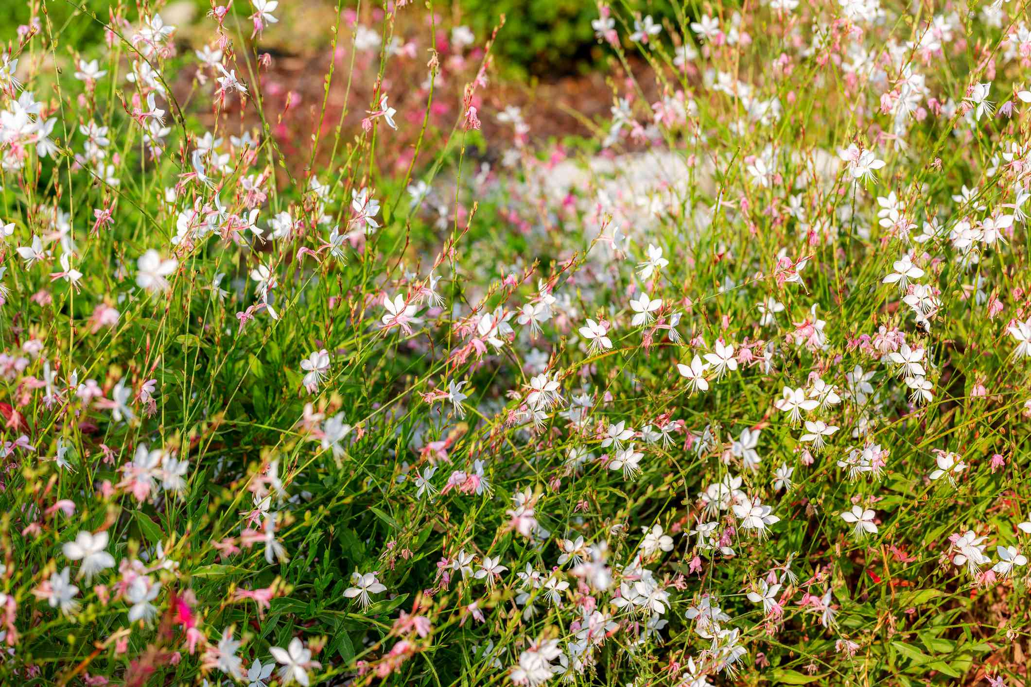 White and pink Gaura lindheimeri flower or Australian Butterfly Bush. Beautiful floral background