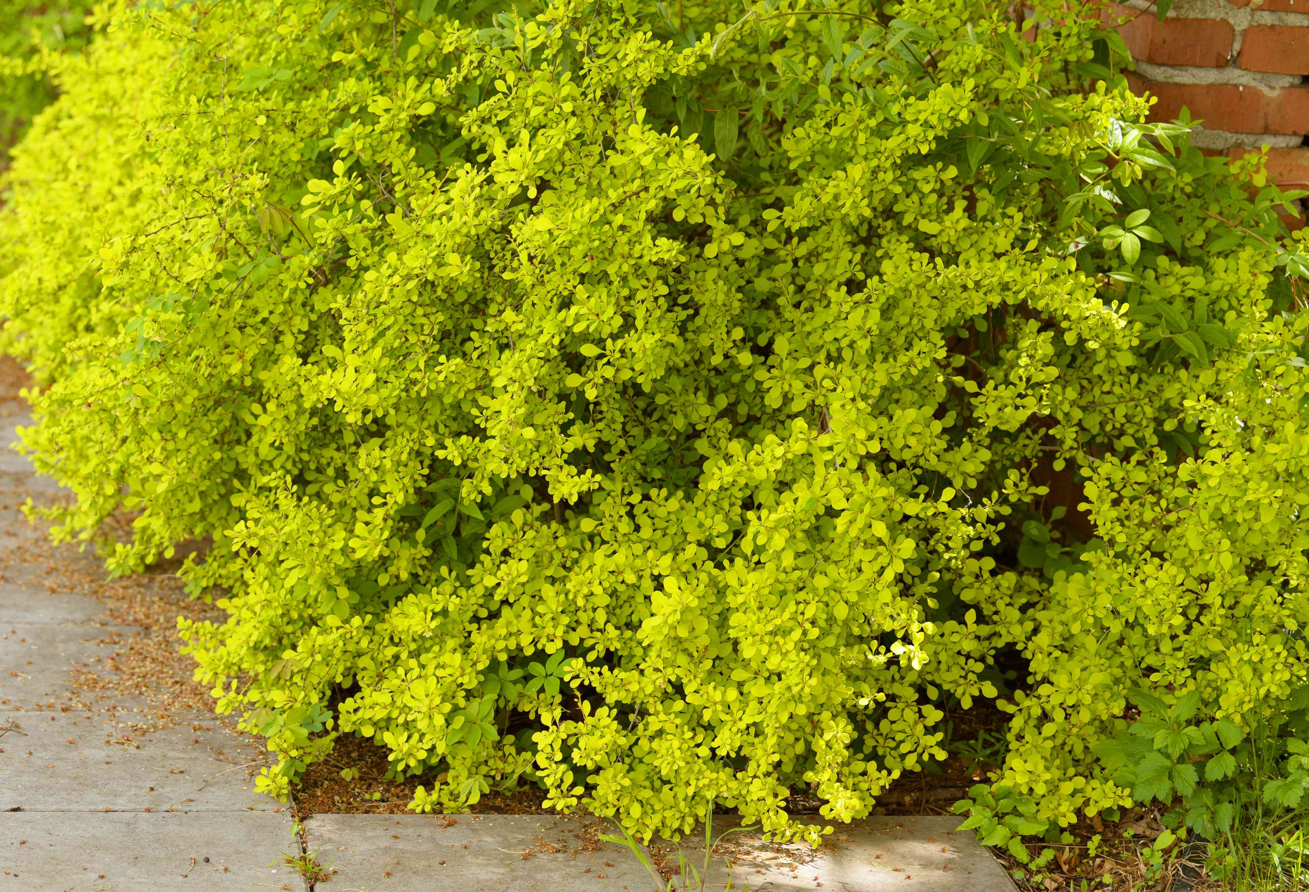 Golden barberry bushes with small yellow-green leaf clusters near pavement