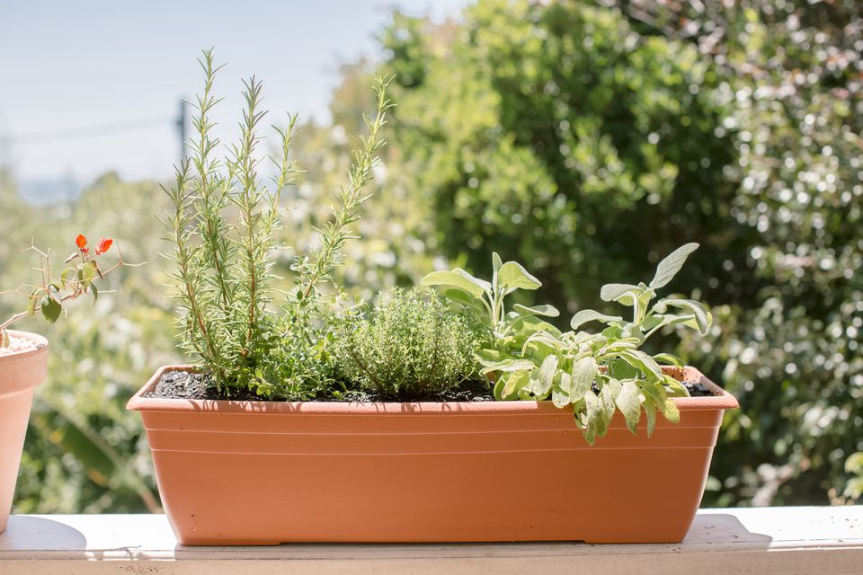 herbs growing in a planter