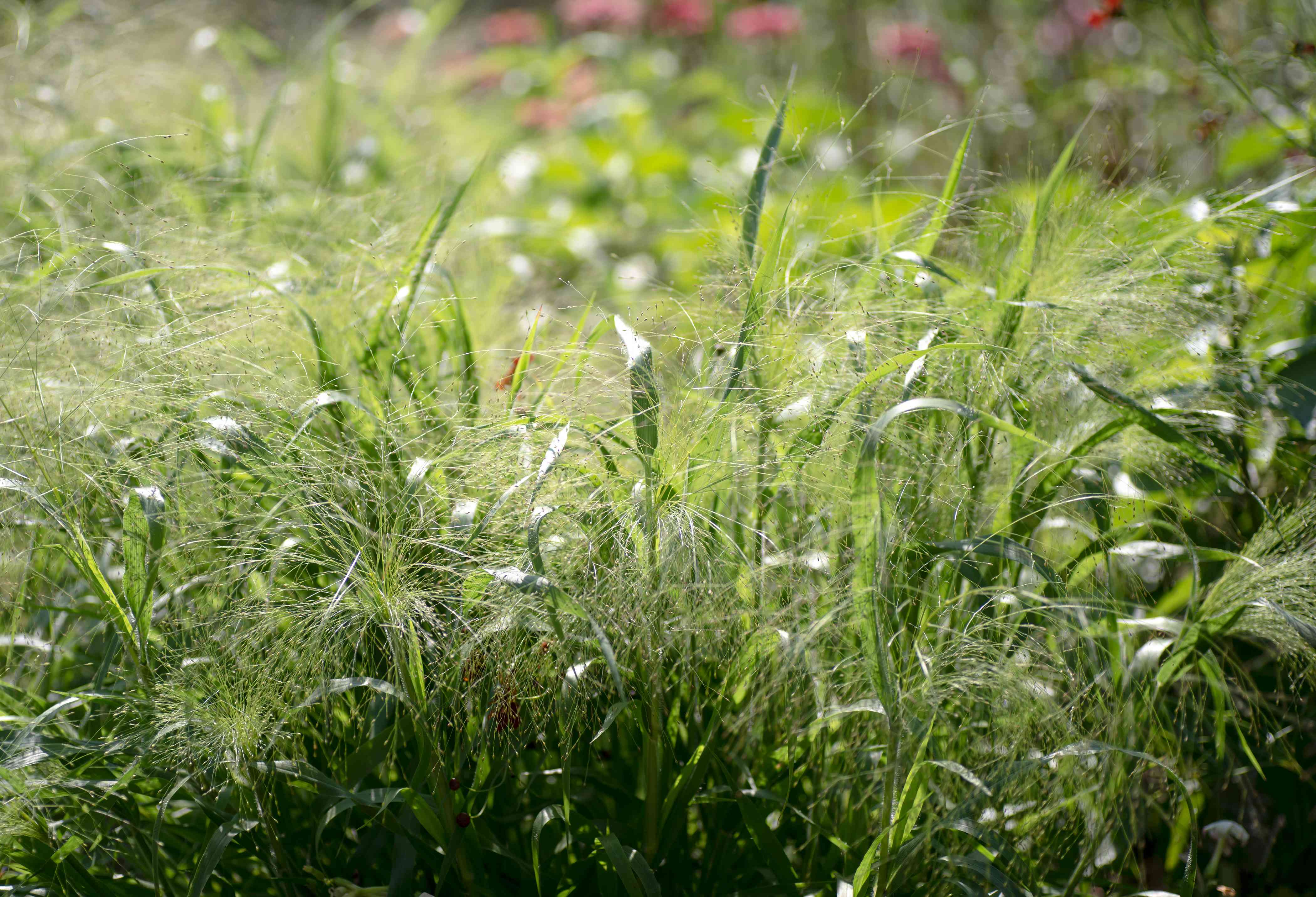 Switchgrass with green foliage and thin feathery plumes