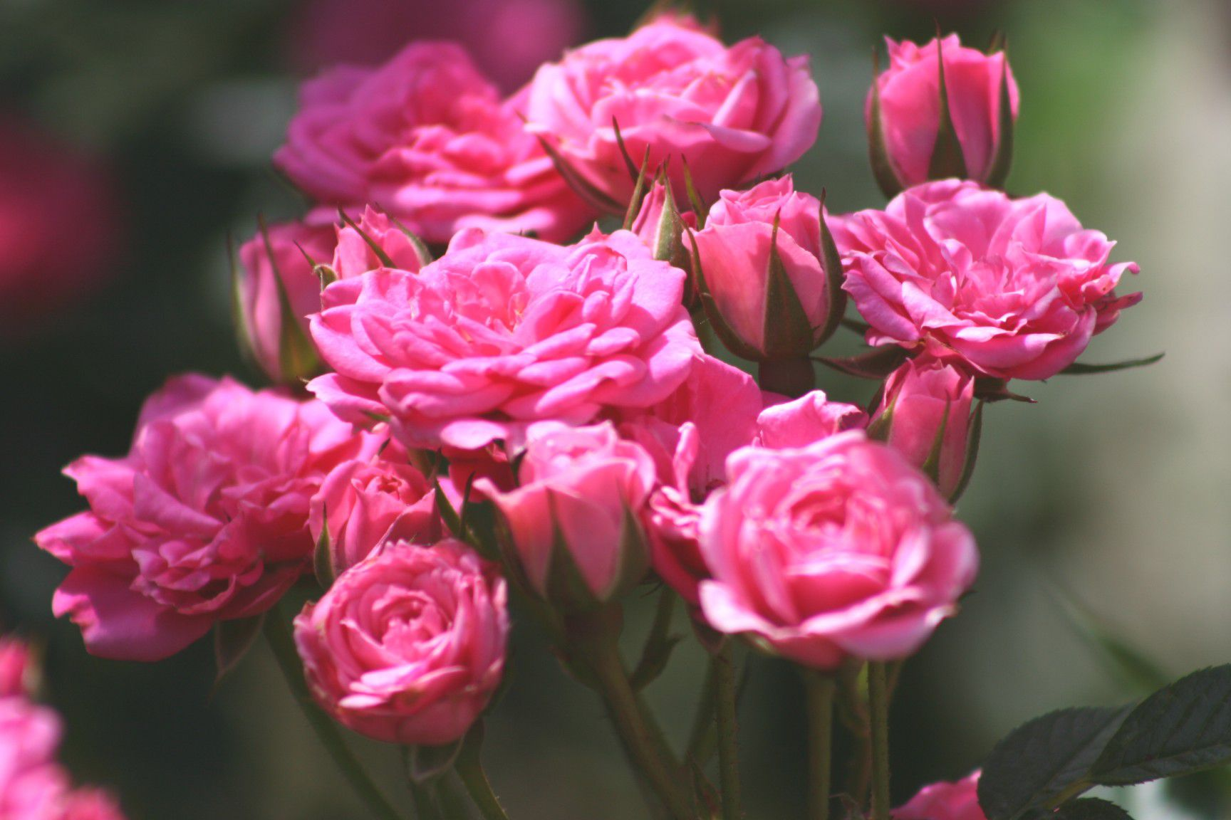 Pruning the Different Types of Roses