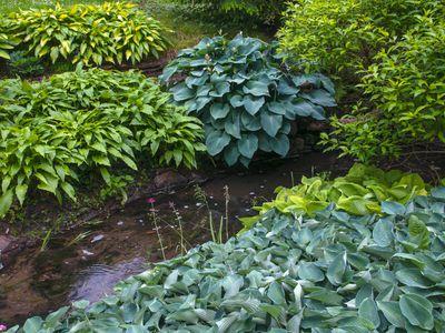 Varieties of colorful hosta plants in garden