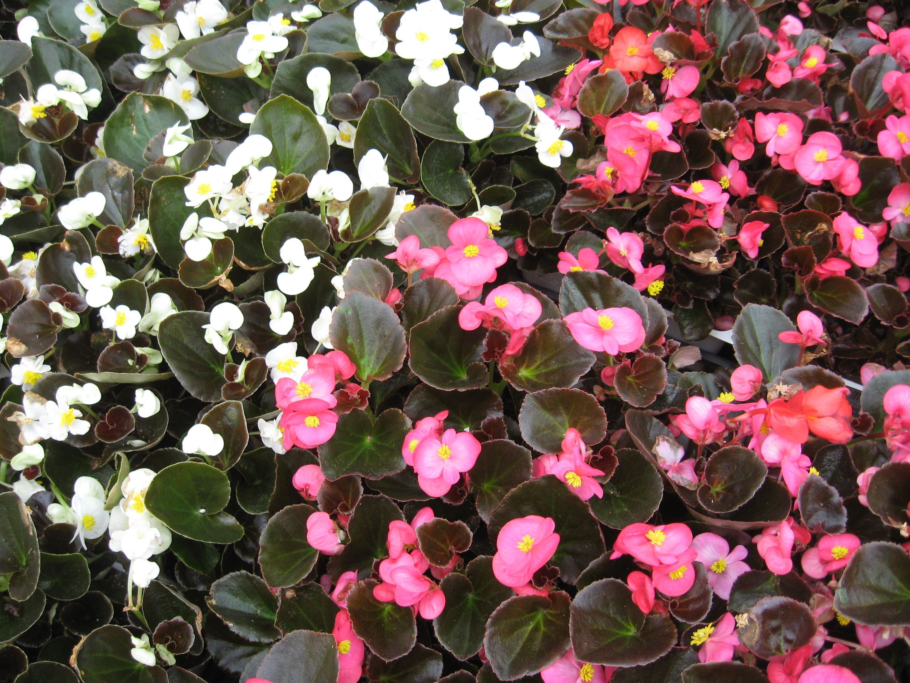 Dozens of white and pink bronze leaf wax begonias next to each other.
