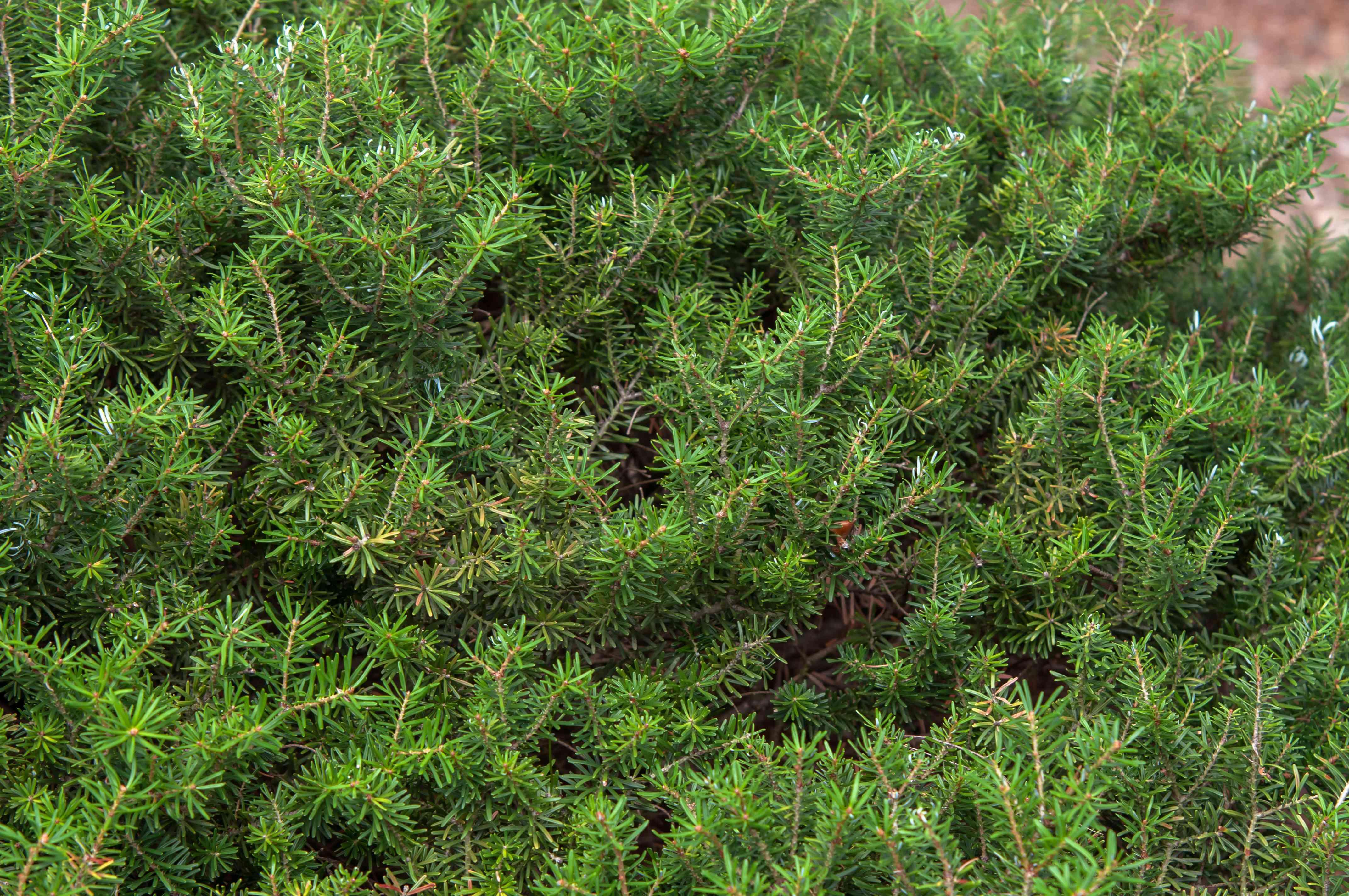 Korean fir branches with short and dense needles
