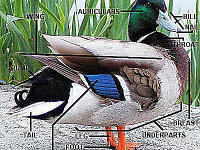 Parts of a Bird - Bird Anatomy With Diagram