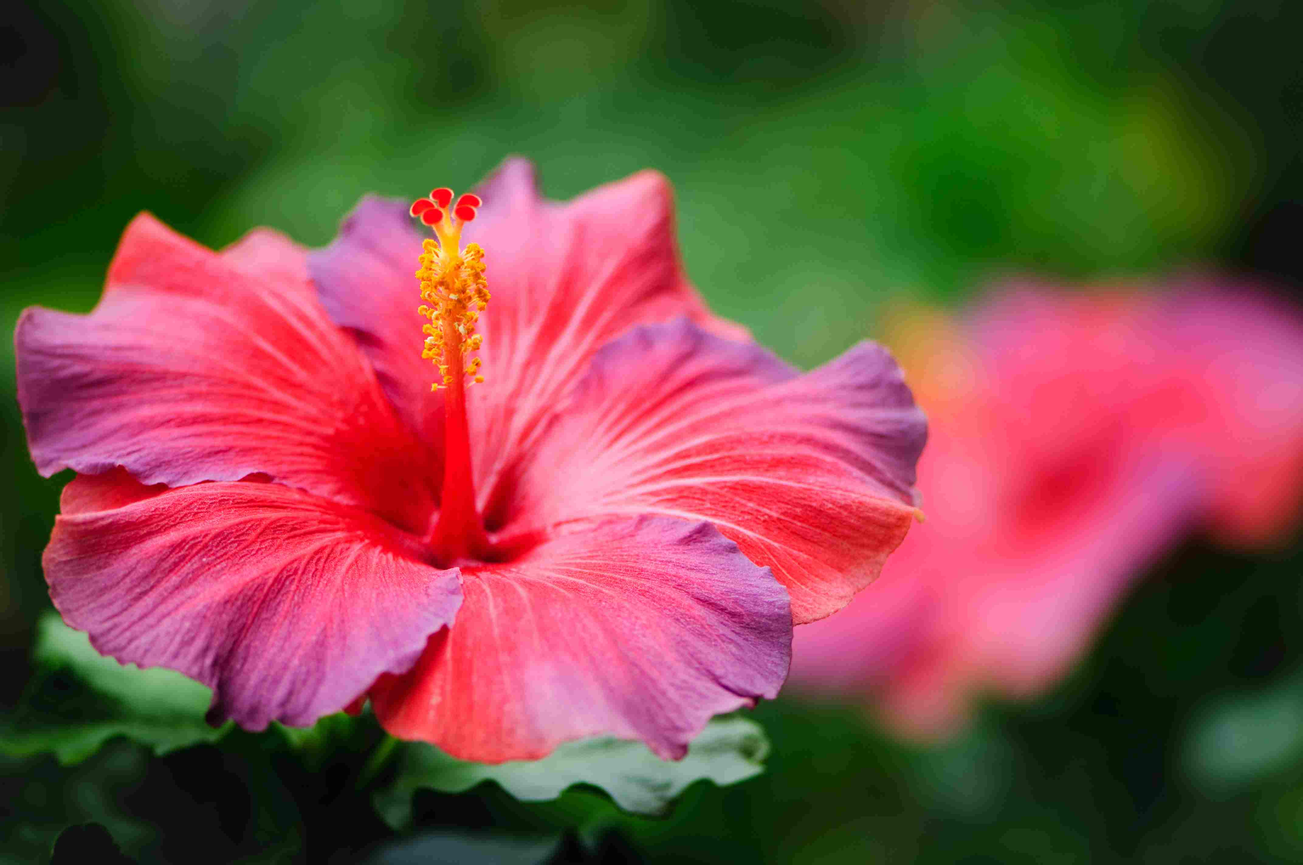 Red and purple hibiscus