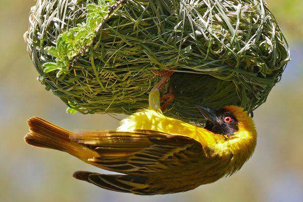 Yellow bird clinging to bright green nest