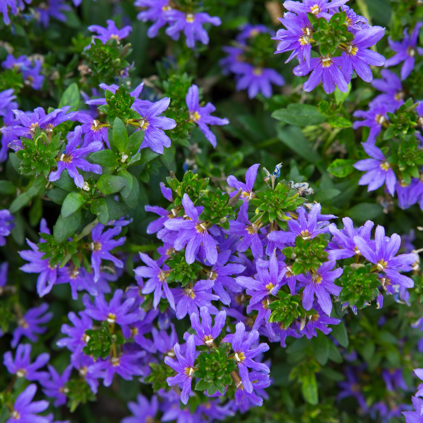 Spectacular Scaevola Flowers Can Take the Heat
