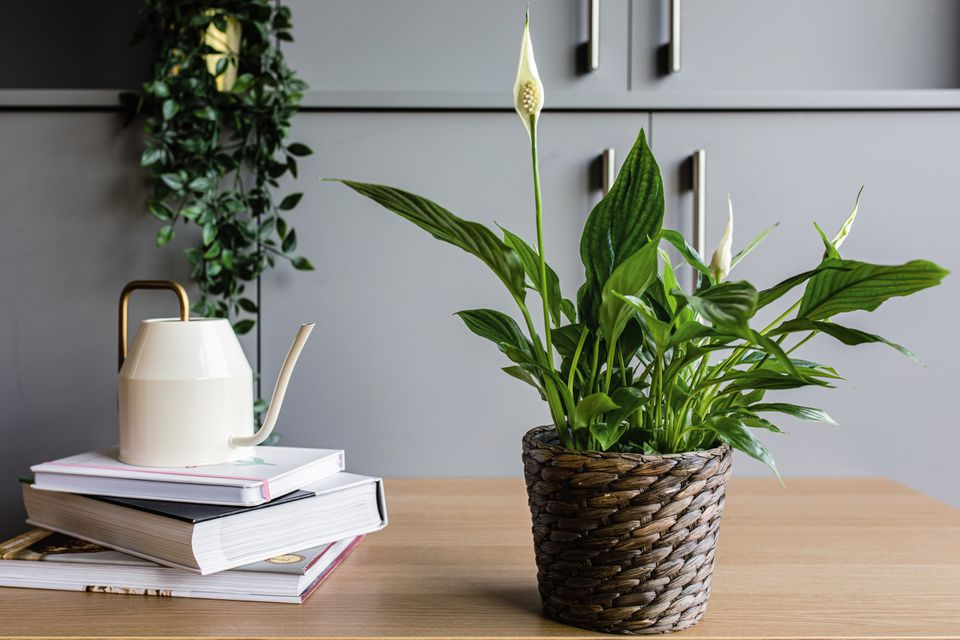 a peace lily on a tabletop