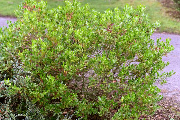 Inkberry holly shrub with bright green leaves near pathway