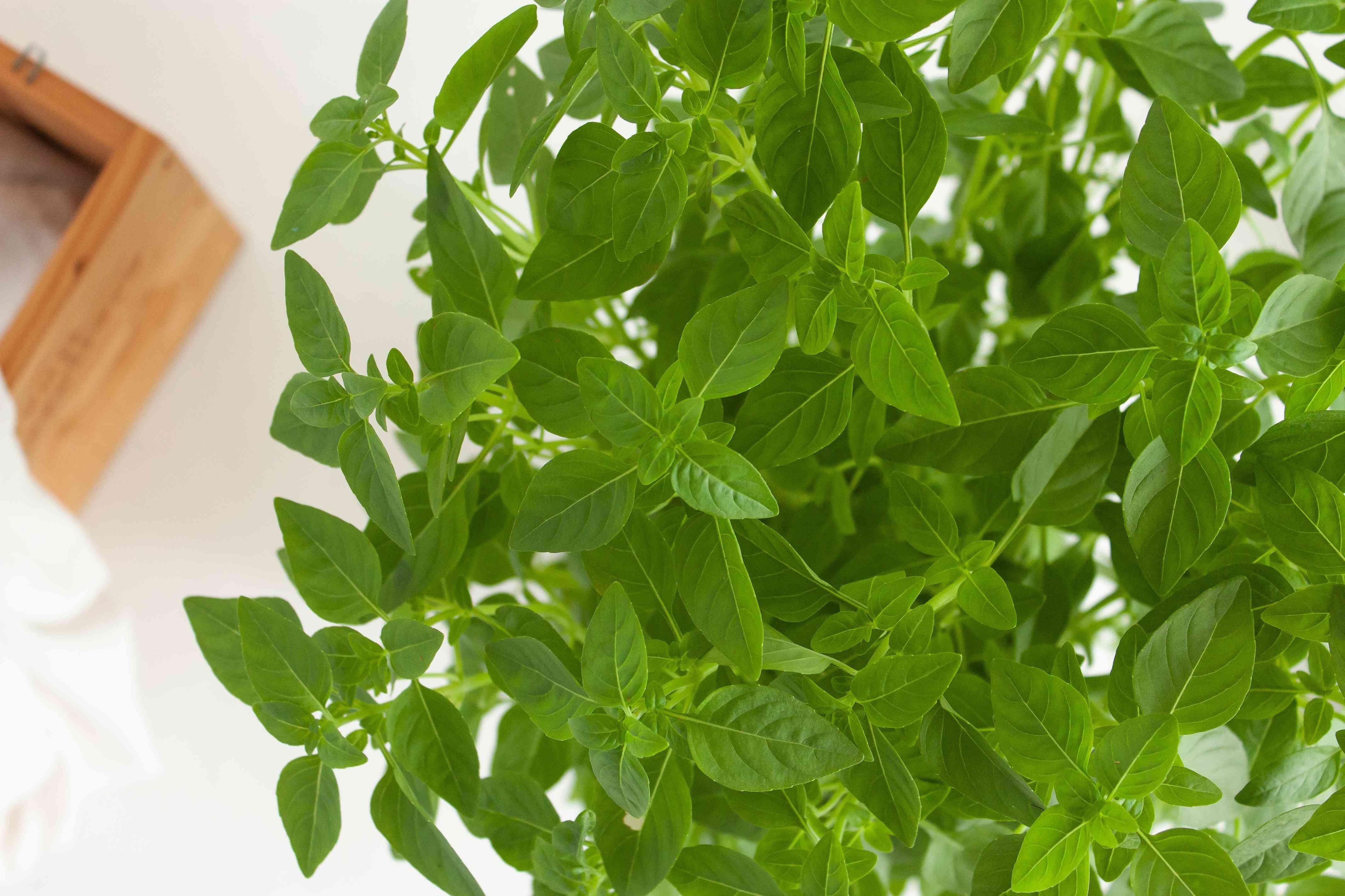 overhead angle of a basil plant