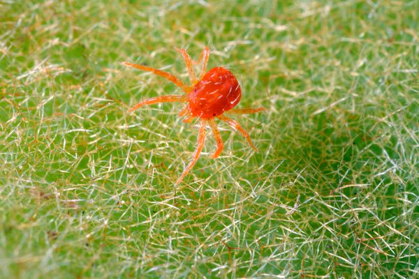 Extreme close up of a spider mite