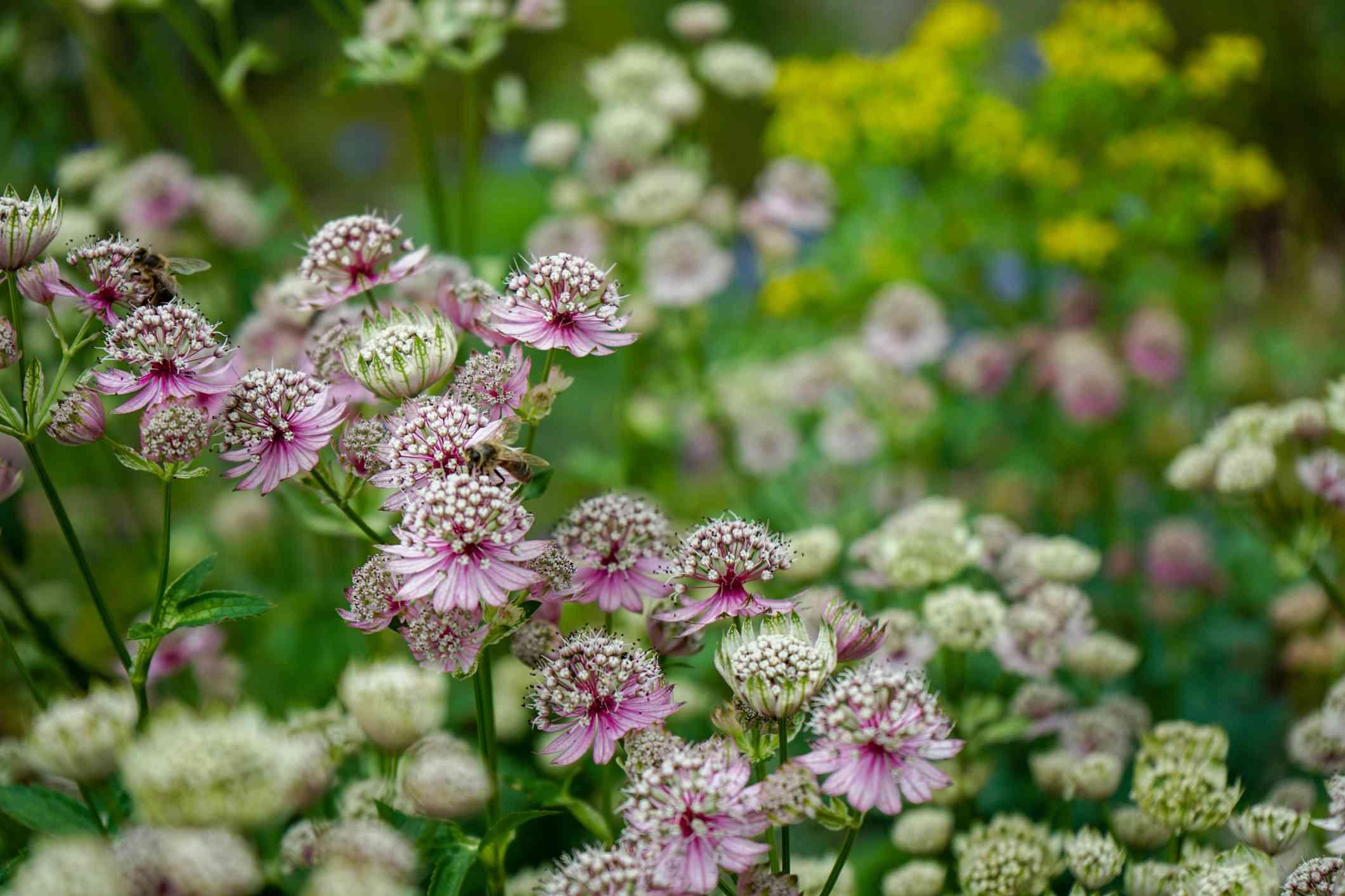 Masterwort flowers