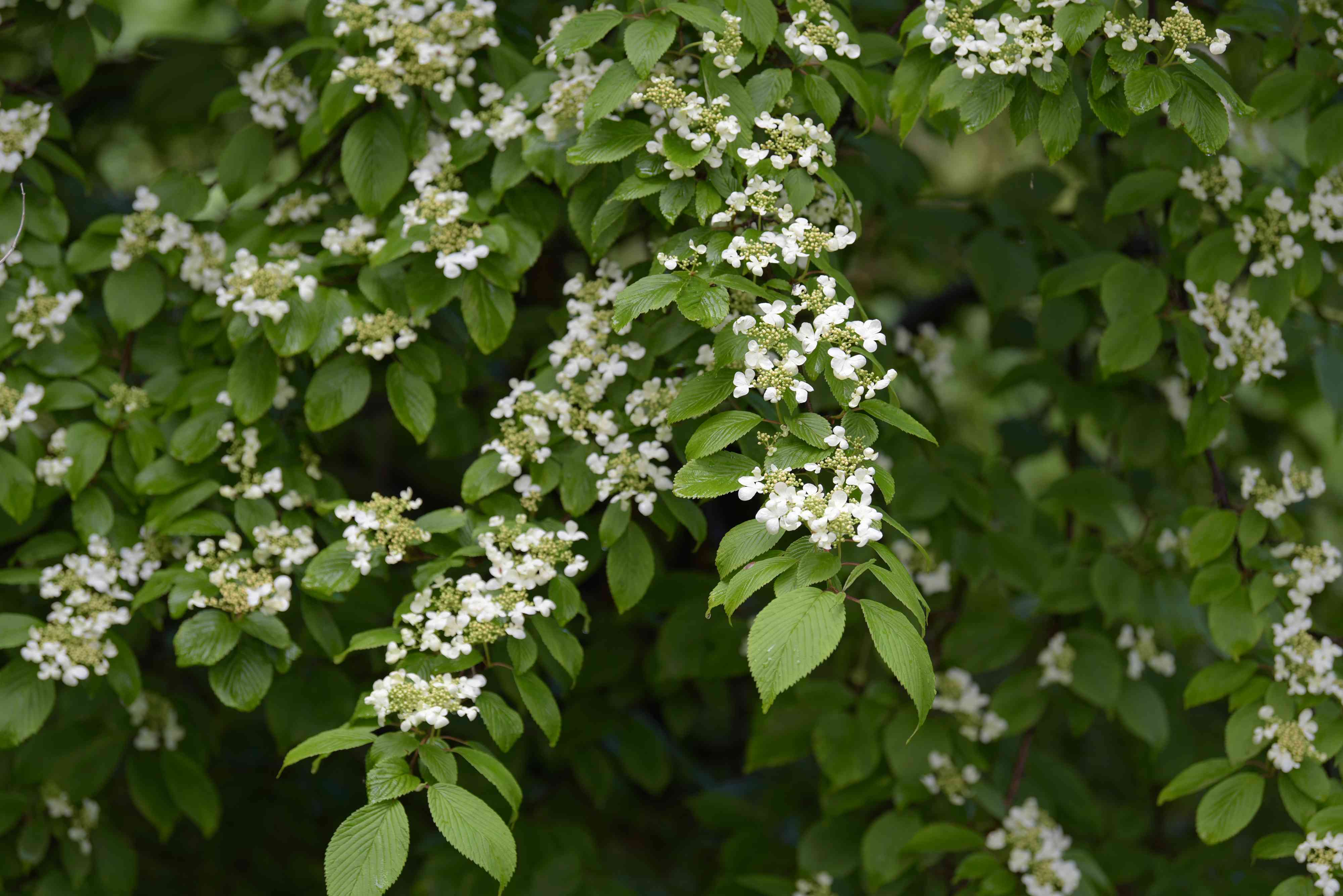 Doublefile viburnum shrub branches with oval-shaped leaves and small white flower clusters