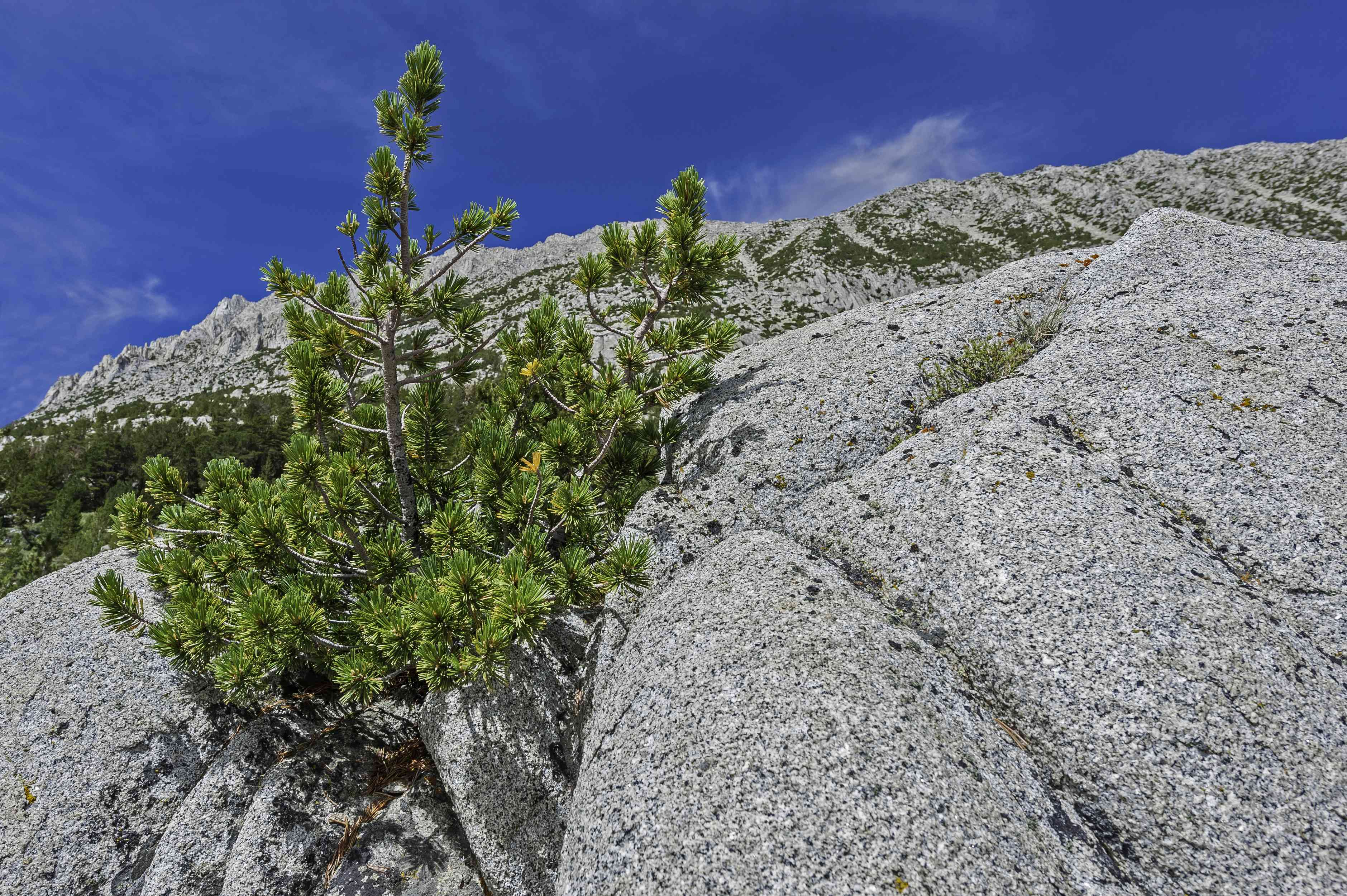 Pinus albicaulis, with many common names including whitebark pine, white pine, pitch pine, scrub pine, and creeping pine, occurs in the mountains of the Western United States and Canada, specifically the subalpine areas of the Sierra Nevada. Rock Creek ar