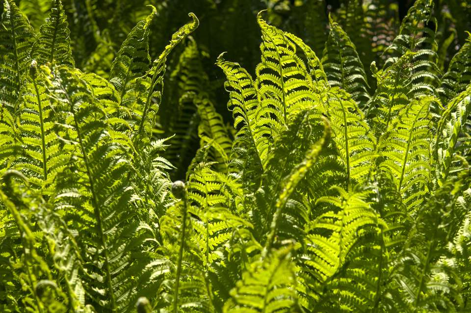 Ostrich ferns growing in sunlight