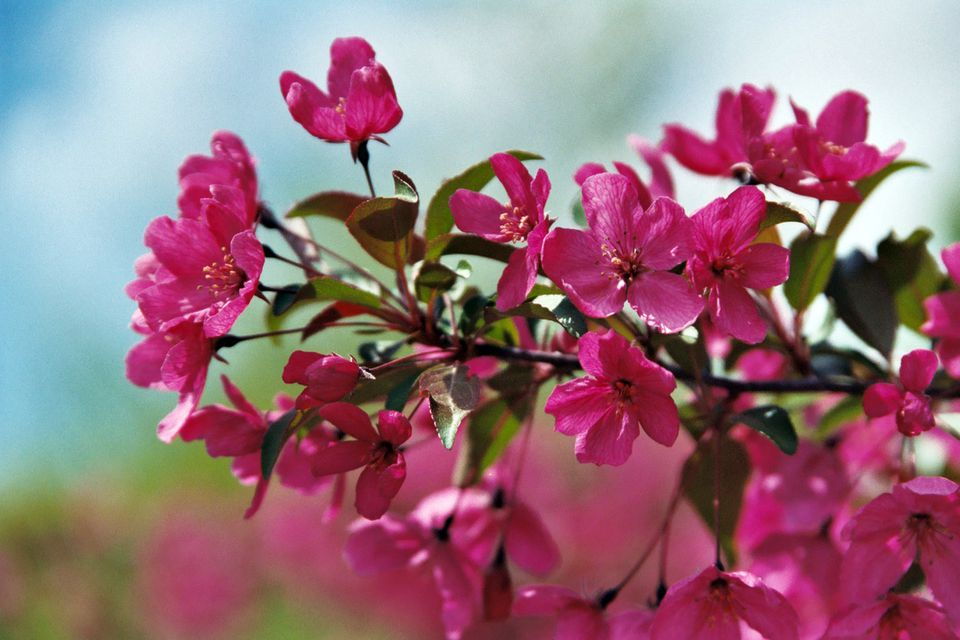 Crabapple tree branch in bloom with deep-pink flowers.
