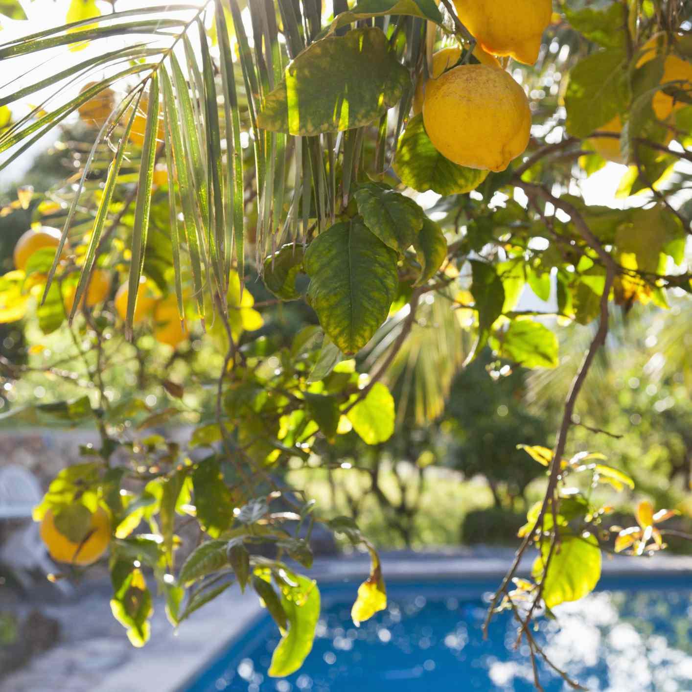 Lemon tree and swimming pool