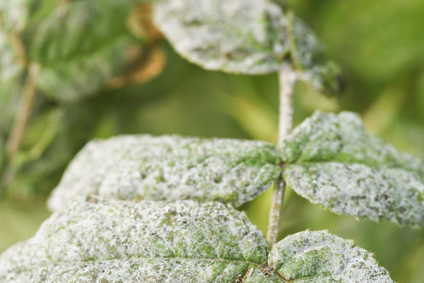 Baking Soda Recipe For Controlling Mildew On Plants