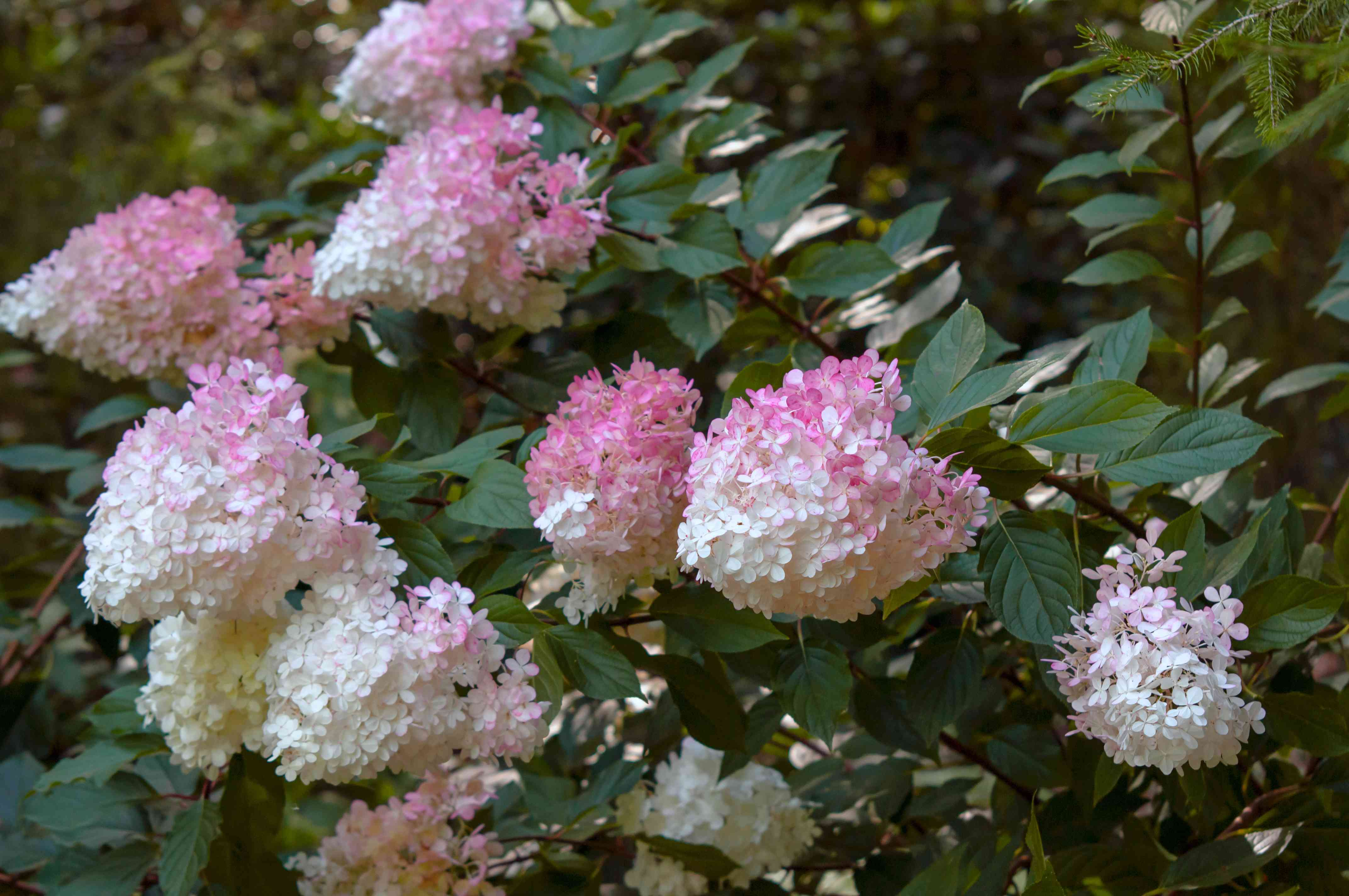 Strawberry vanilla hydrangeas on branches with white and pink bi-colored flower heads