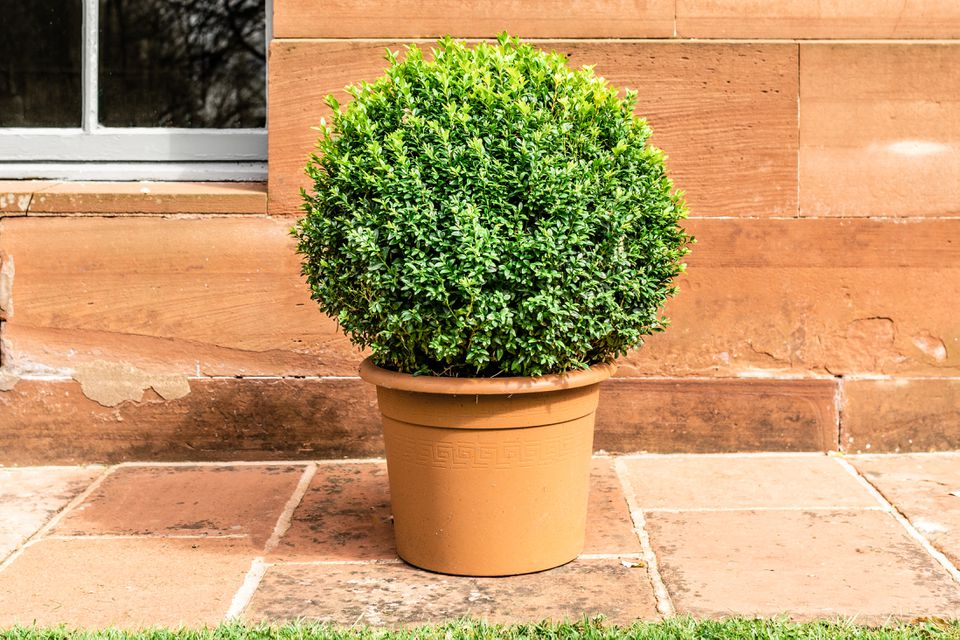 dwarf boxwood shrub in front of a home