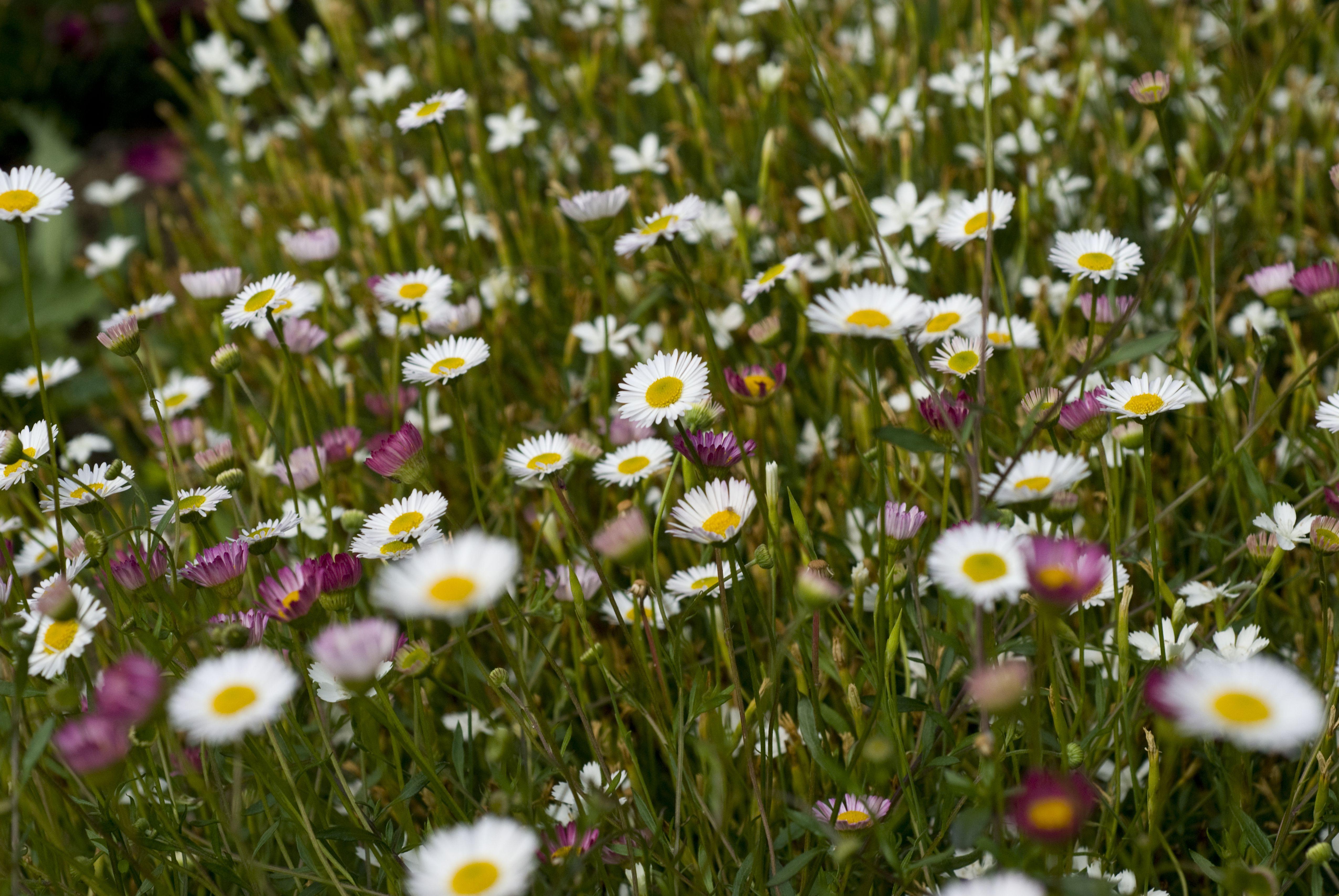santa barbara daisies