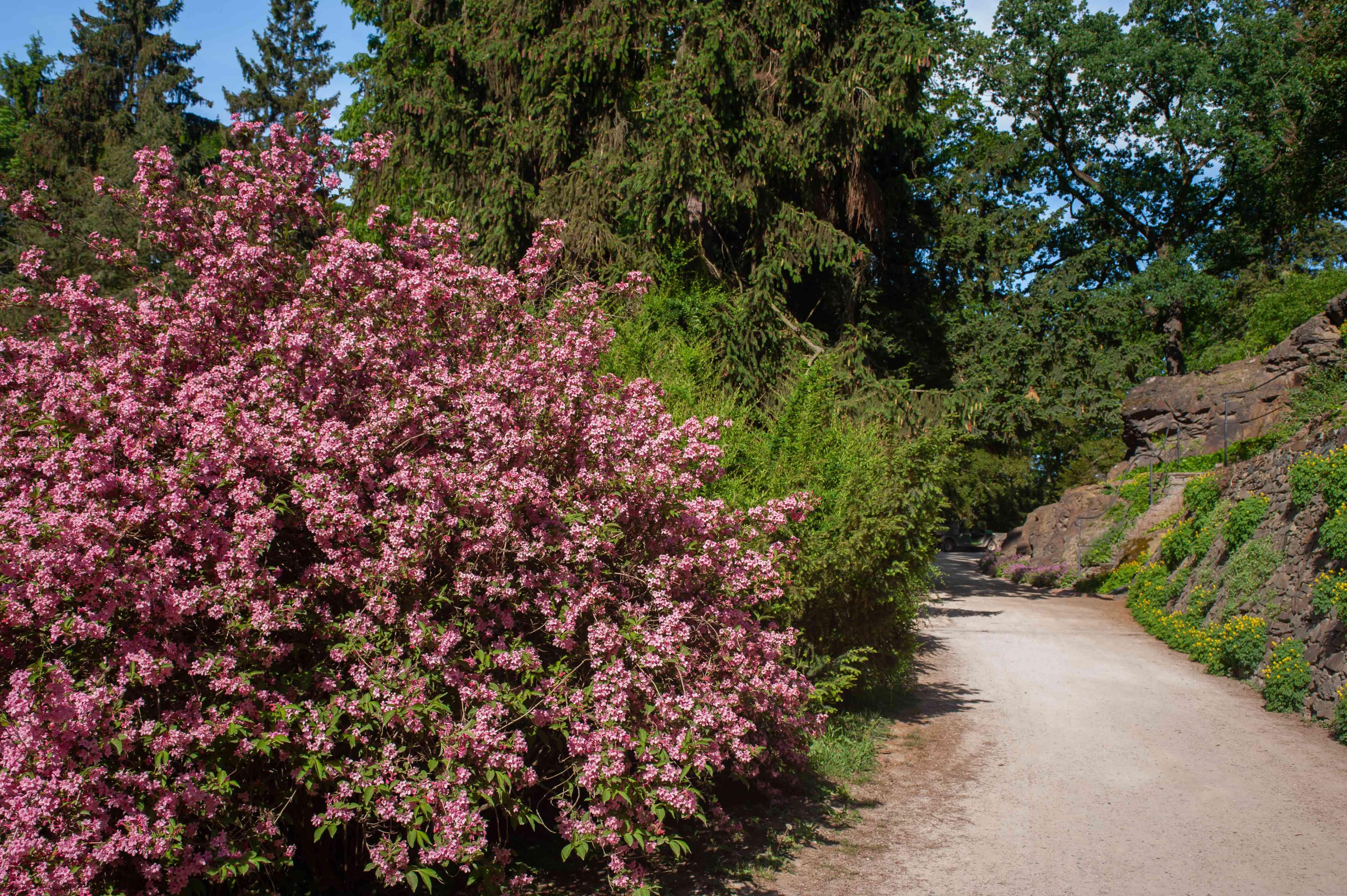 Wiegela bush with pink flowers alongside pathway in sunlight