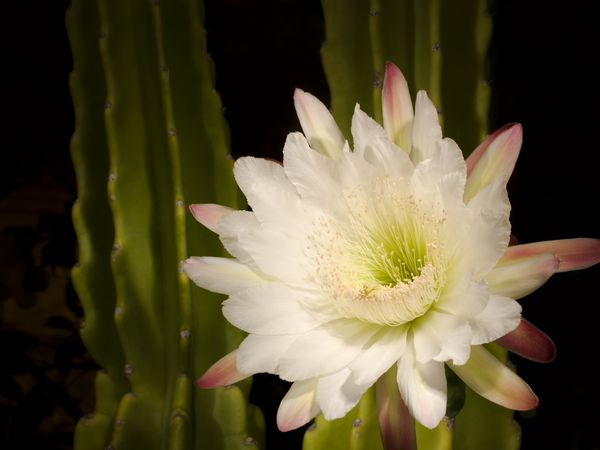 White night blooming cereus flower with pink outer petals.