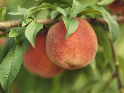 Two peaches hanging from a peach tree branch.