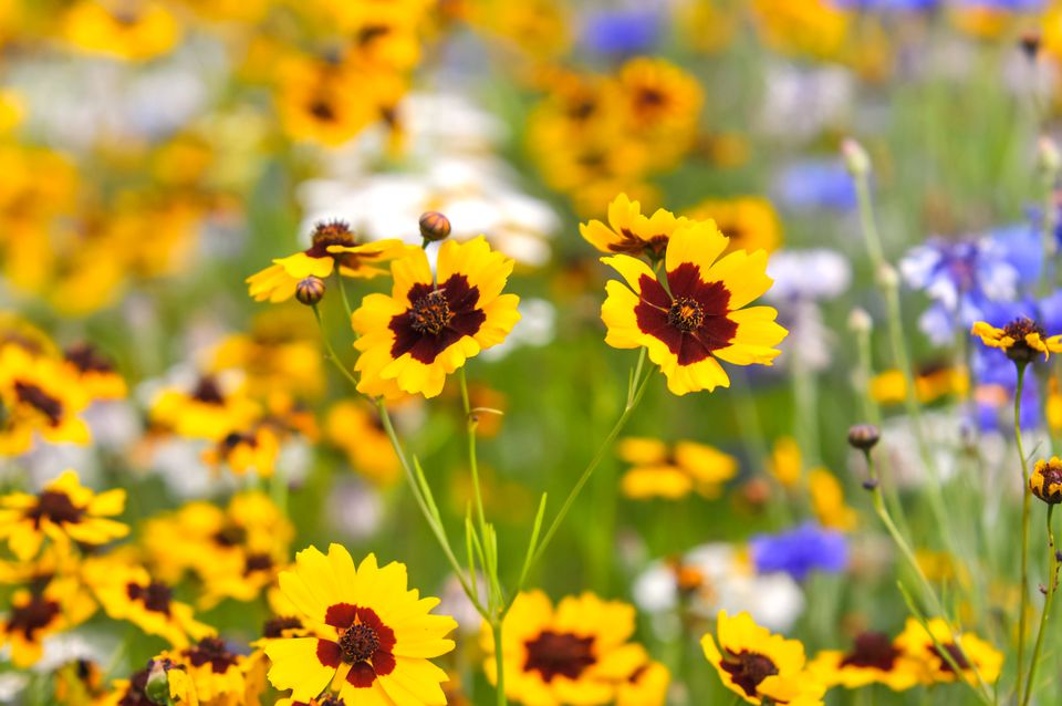Coreopsis flowers with yellow petals and red centers in middle of coreopsis garden