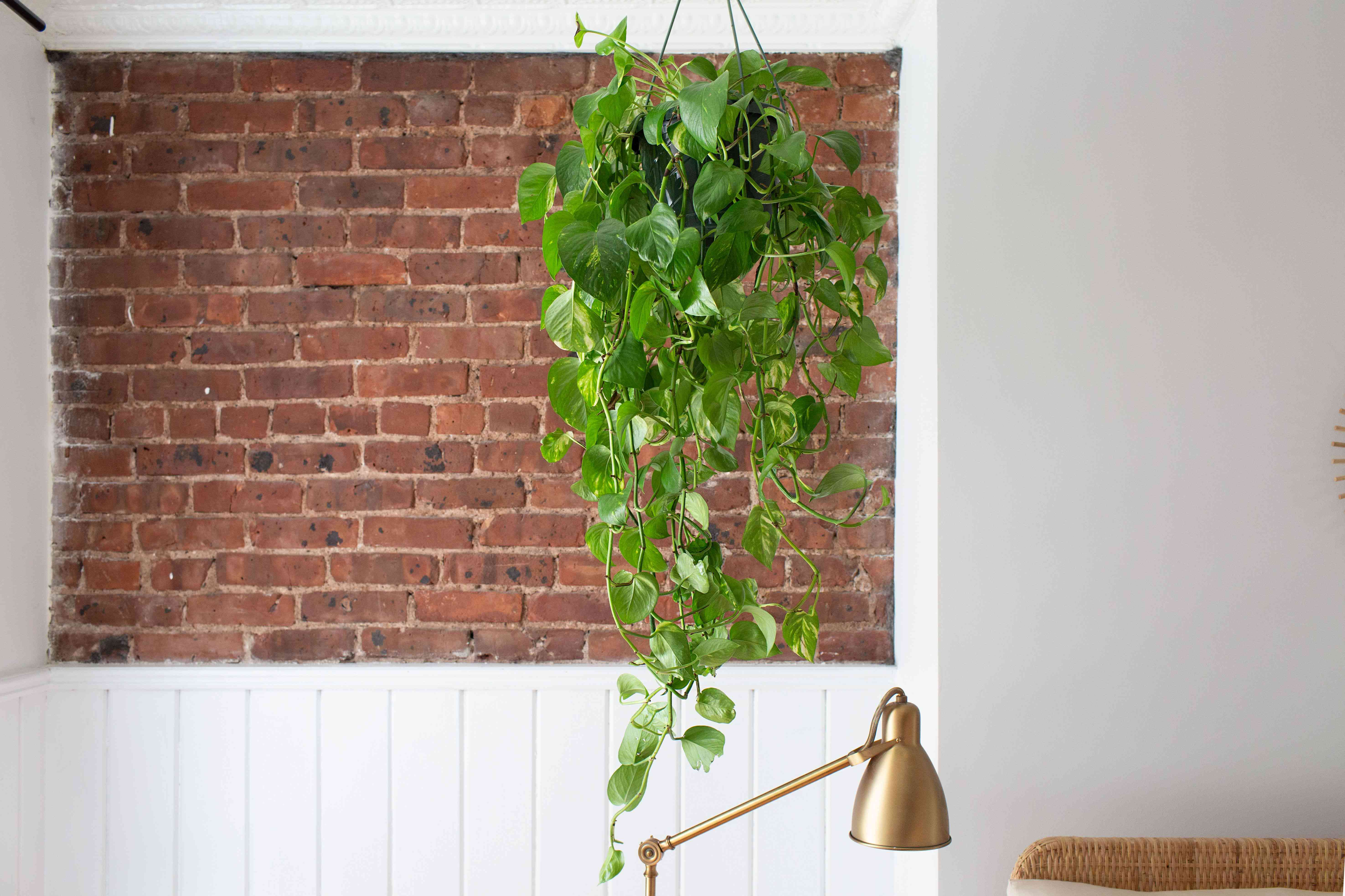 Golden pothos plant hanging from ceiling in from of brick wall and above gold lamp