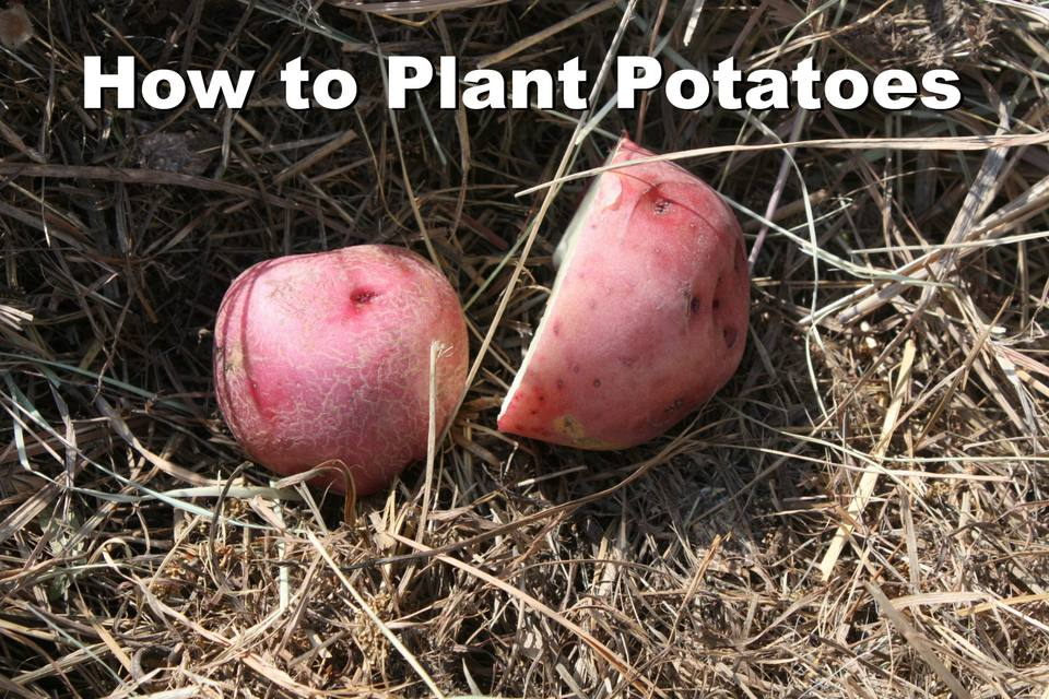 How to plant potatoes in the organic garden - it's easier than you think!
