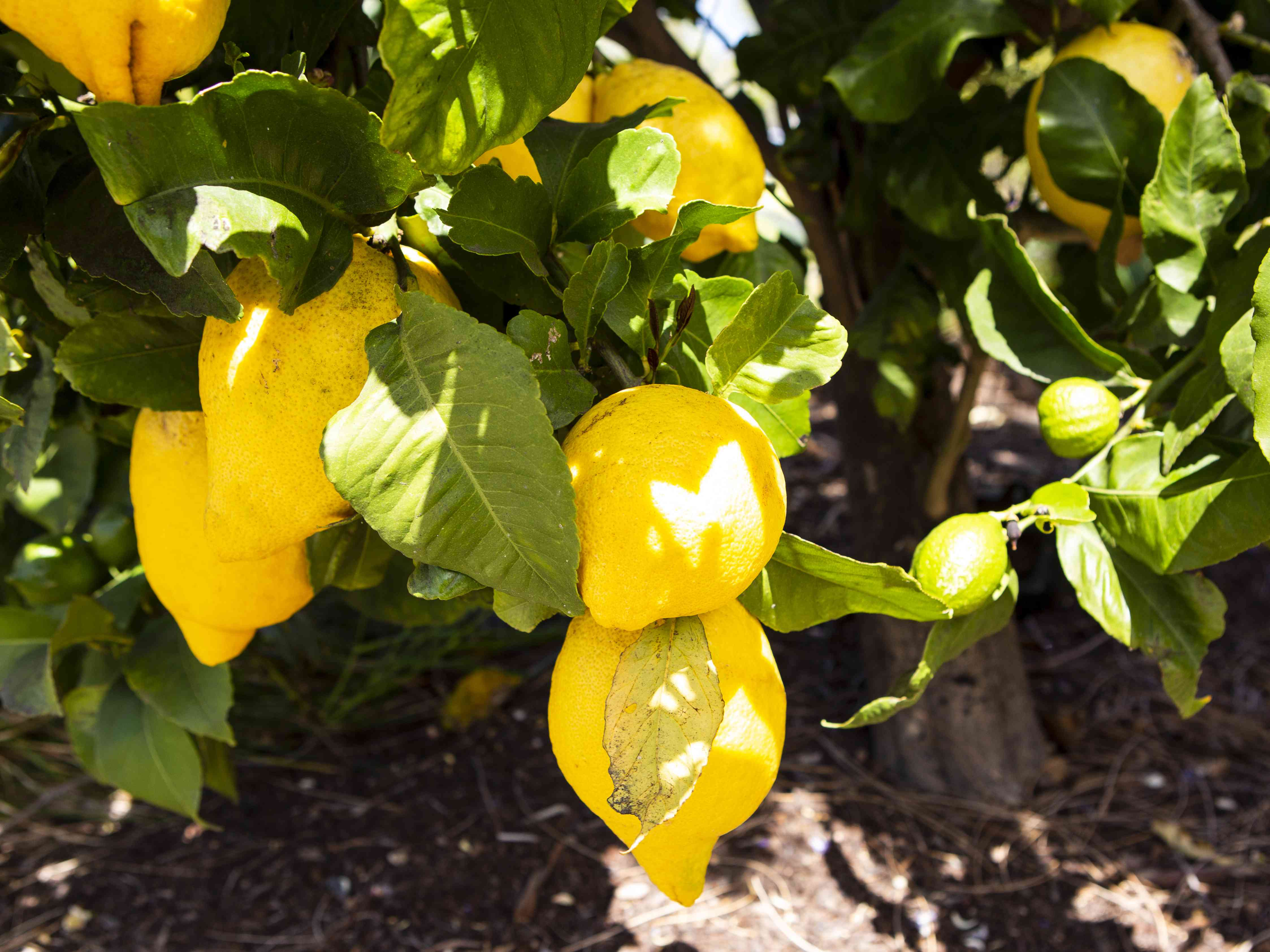 Lemon tree with yellow lemons hanging from branches in sunlight closeup