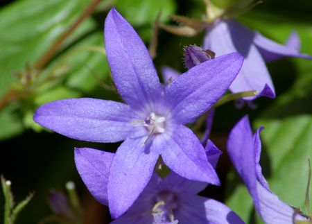Everything you need to know about dalmatian bellflowers campanula portenschlagiana image is one of several plants called bellflowers it is floriferous mightylinksfo