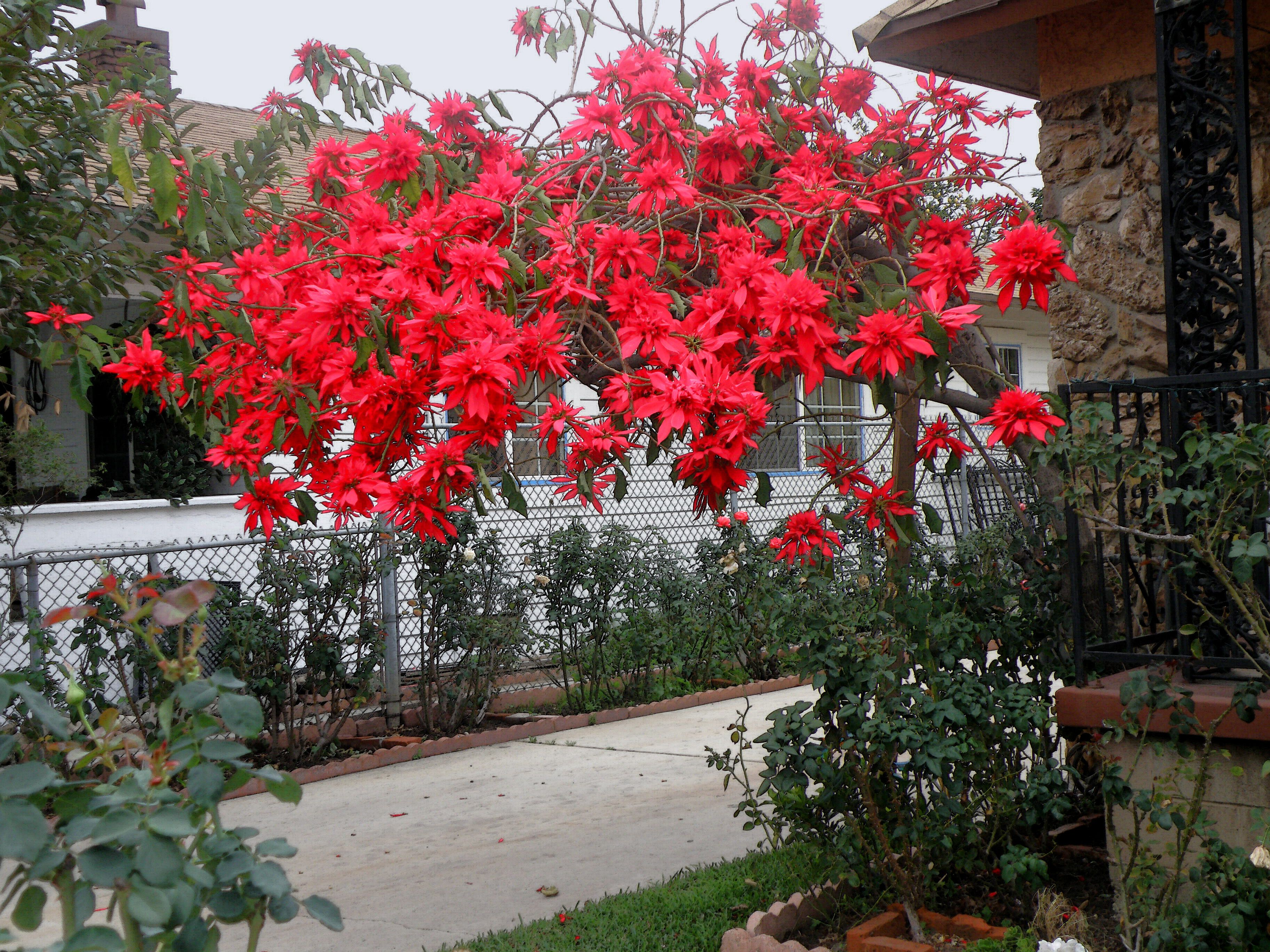 Grow Poinsettias Outdoors