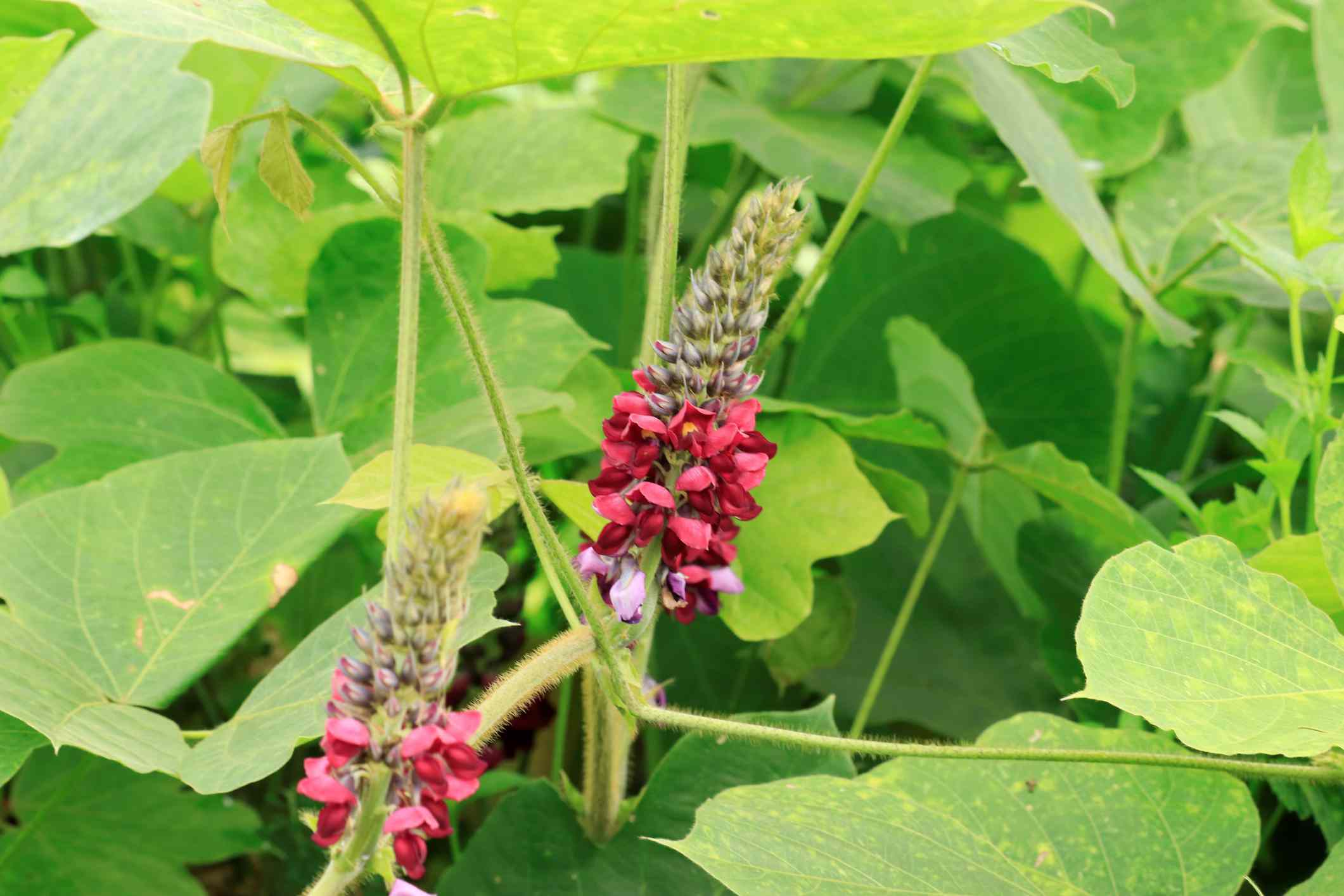 Kudzu has spike-like purple-reddish flowers in late summer
