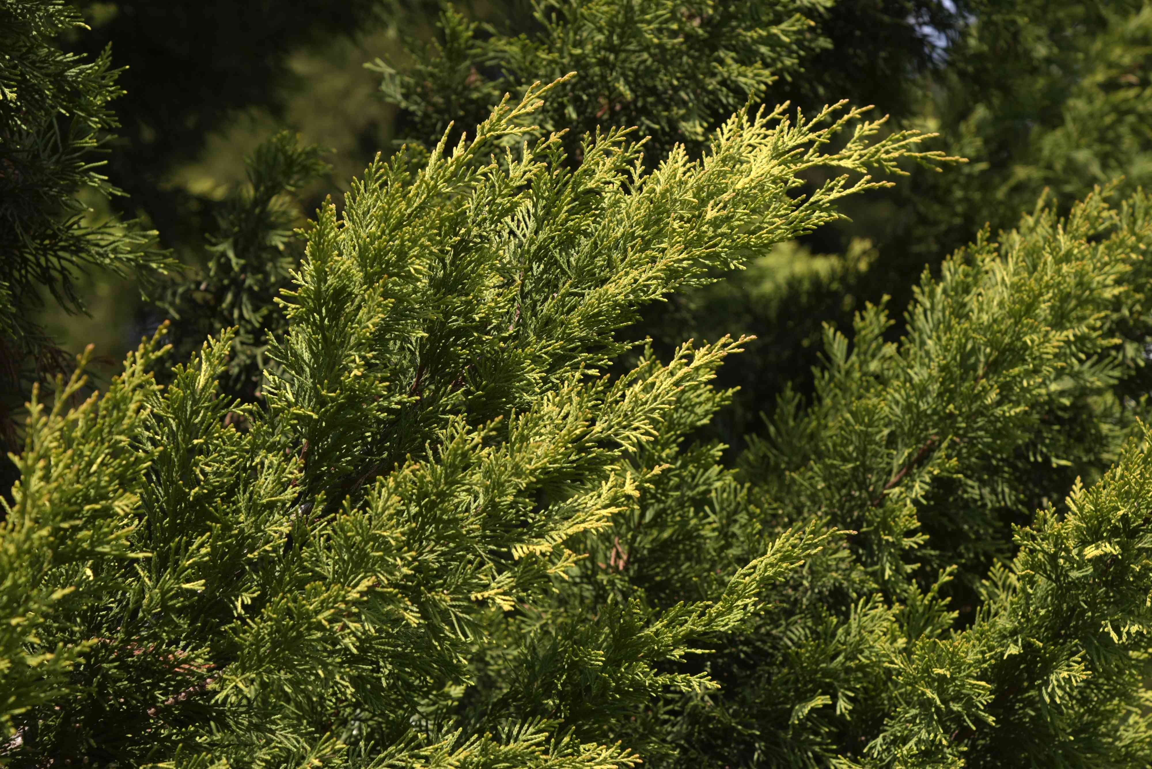 Leyland cypress tree branches with green and green-yellow foliage