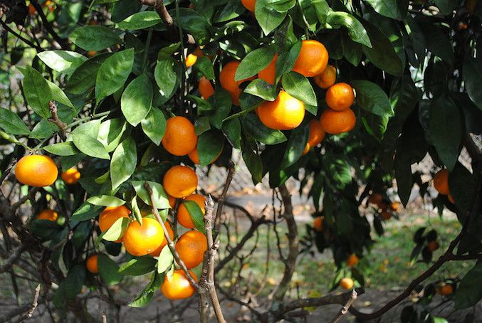 Satsuma oranges hanging from tree