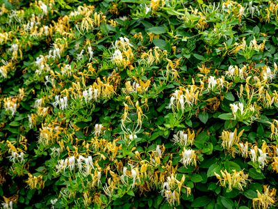 Japanese honeysuckle plant vines with yellow and white flowers