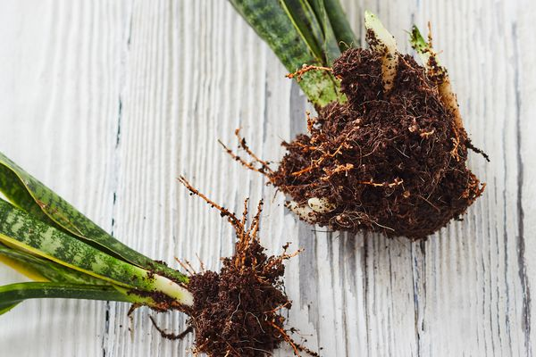 How to divide a plant, roots divided